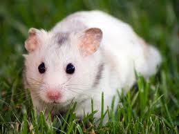 Les  hamster lie